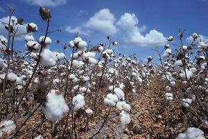 25-Samen-der-Baumwollpflanze-Baumwolle-Gossypium-hirsutum