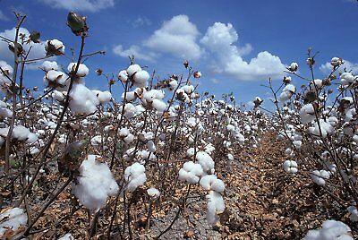 Baumwollpflanze Wilde Tropische 25 Samen Gossypium hirsutum Baumwolle