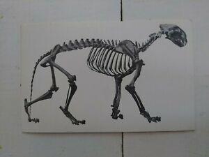 La-Brea-Lion-Fossil-Vintage-Postcard