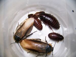"50 ""Pantanal roaches,Feeder,Bug,Geckos,Bearded Dragons,dubia roach alturnative"