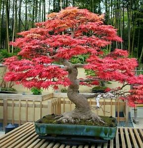 Red Maple Acer Rubrum Seeds For Bonsai Aa Ebay