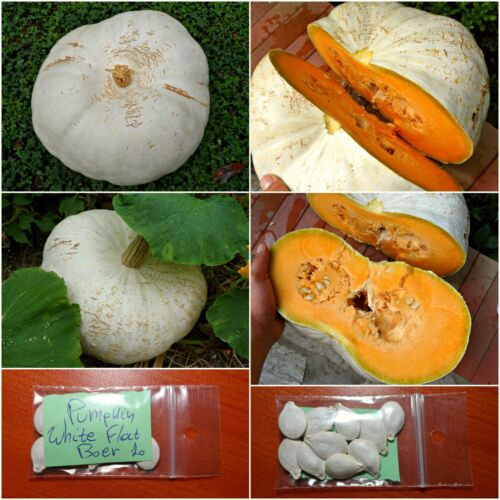 EXTRA RARE Pumpkin Huge! Squash /'/'White Flat Boer/'/' ~10 Top Quality Seeds