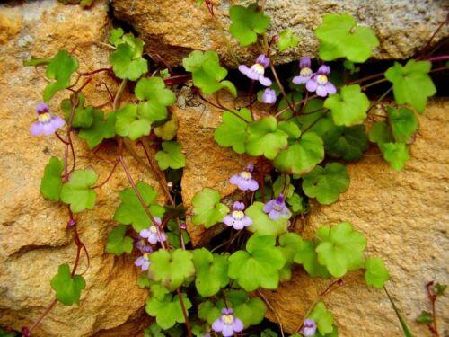 Garten Pflanzen Samen winterharte Zierpflanze Saatgut Kräuter ZIMBELKRAUT