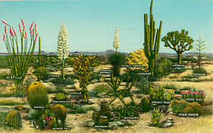 Postcard-A-Few-Varieties-Of-Desert-Vegetation-Buckhorn-Rainbow-Yucca-Cholla