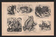 Lithografie 1896: FRÖSCHE UND KRÖTEN II. Taschen-Horn-Flugfrosch Geburtshelferkr