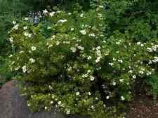 "Potentilla ""Abbotswood"" 20 WHITE FLOWERING SHRUBS, LIVE PLANTS! FREE SHIPPING!"