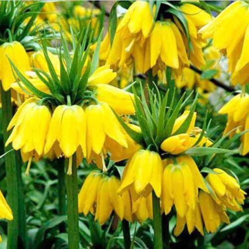 50pcs Gelb Kaiserkronen Seeds Fritillaria Imperialis AKTION  Garten Seeds Hot