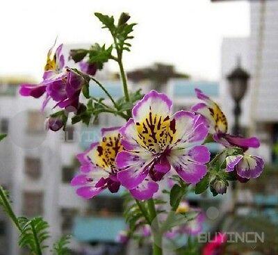 schizanthus Flower seed 30 seeds Pinnatus butterflyflower fringeflower balcony
