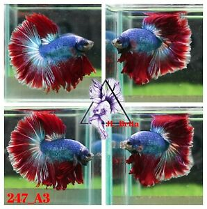 [247_A3]Live Betta Fish High Quality Male Fancy Over Halfmoon 📸Video Included📸