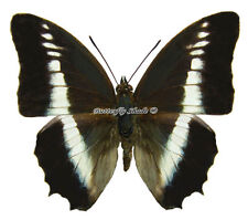 Unmounted Butterfly/Nymphalidae - Charaxes hildebrandti hildebrandti, male A1/A-