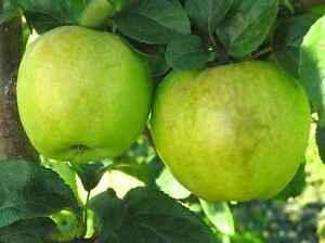 Antonovka-Apple-Malus-Domestica-Antonovka-Tree-Seeds-Fast-Edible-Hardy
