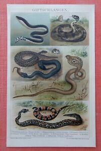 Giftschlangen-Schlange-Korallenschlange-Schararaka-Schlangen-LITHOGRAPHIE-v-1895