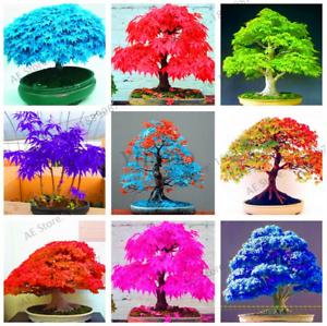 50-PCS-Seeds-Mini-Mixed-Colors-Japanese-Maple-Tree-Bonsai-Plants-Home-Garden-New