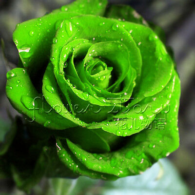 Green Rose Seed Chinese Rare Seed For Lover Rose Seed Fresh Flower Seeds