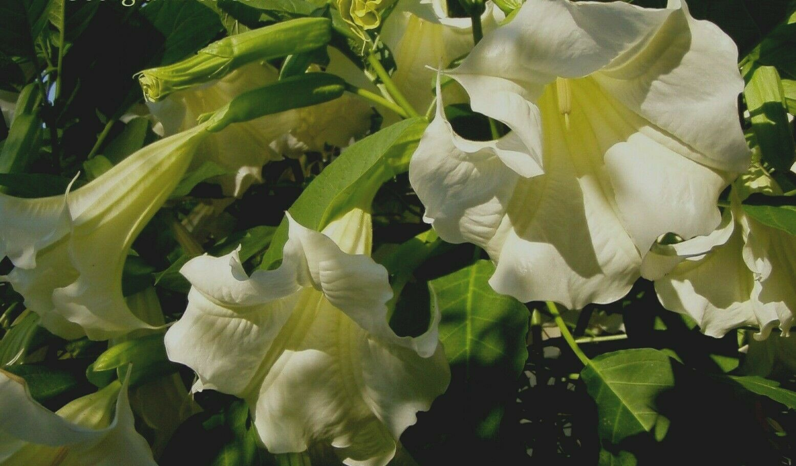 Brugmansia Betty Marshall 8 seeds
