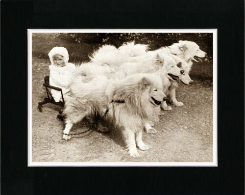 LITTLE GIRL ON CART PULLED BY SAMOYED DOGS VINTAGE STYLE DOG PRINT READY MATTED