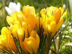947ecf79f806c Image is loading 100-CROCUS-BULBS-IN-THE-GREEN-Mammoth-Yellow-