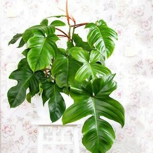Philodendron-squamiferum