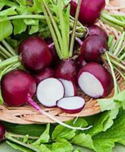 300 Graines de Radis Rond Violet légumes ancien méthode BIO