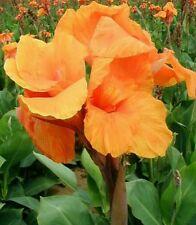 1 Canna tropical Orange Beauty big flower foliage bulb / rhizome Canna lily Tall
