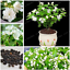 Plantes-en-pots-Jasmine-Bonsai-Jasminum-sambac-fleurs-maison-jardin-U-20-Pcs-Graines miniature 2