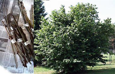20 Semillas seed cuttings scions Hazelnut avellana Europea Avellana Corylus