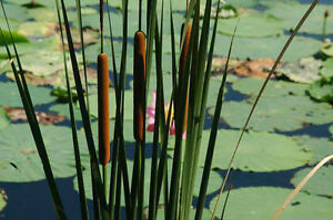 Narrow leaved cattail pond plant koi pond water garden for Pond plants that survive winter