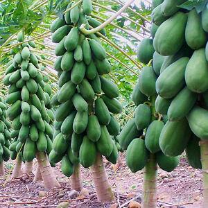 8Pcs Home Garden Maradol Papaya Seeds Vegetable Fruit Tree Plants