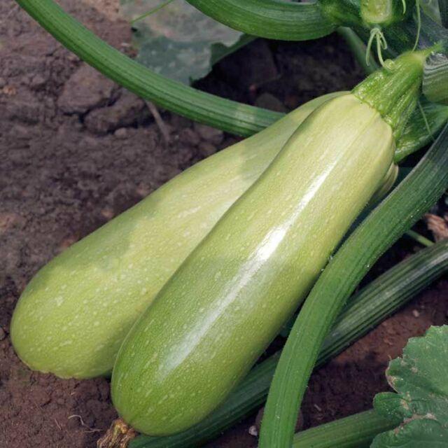 Seeds Squash Zucchini Kustovou White Vegetable Organic Heirloom Russian Ukraine