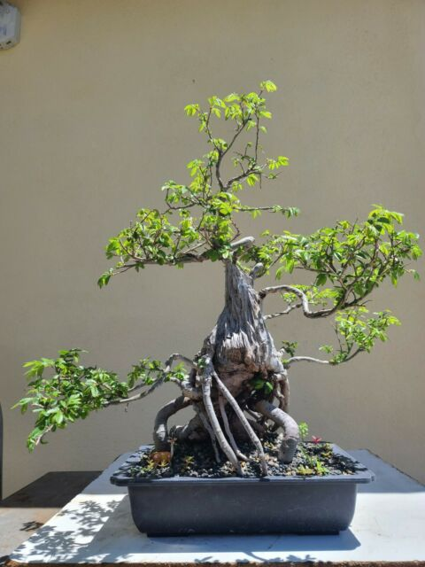 Old Chinese Elm Bonsai Tree Sale For Sale Online