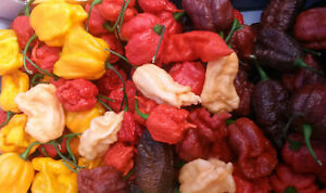 C-chinense-hot-pepper-reaper-habanero-ghost-pepper-etc-chili-seeds-20-pcs