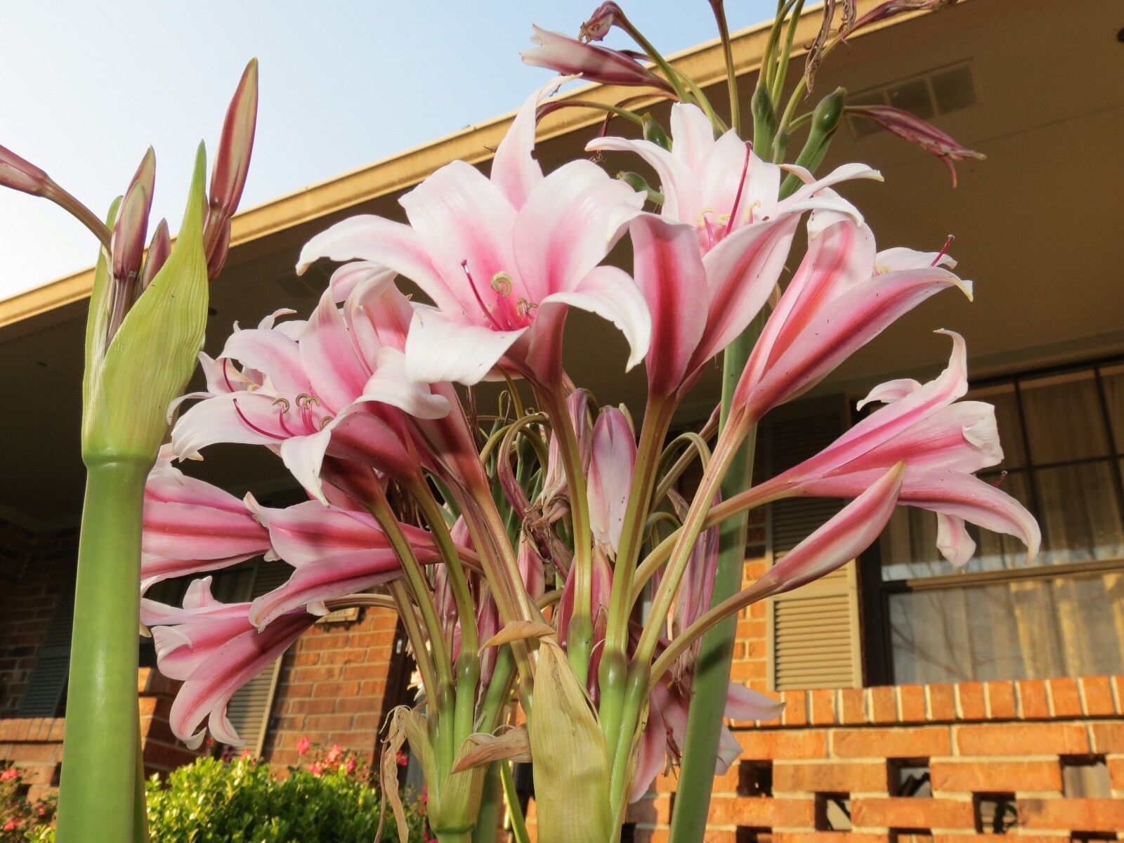 Lirio De Crinum, bulbispermum reina de ajedrez, Jumbo, floreciente-Bombilla de Tamaño