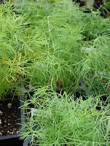 500-Samen-Dill-blattreich-aromatisches-Gewuerz-und-Heilkraut