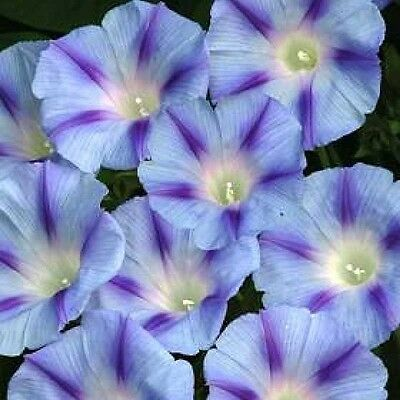 75 BLUE STAR MORNING GLORY Imopea Tricolor Flower Vine Seeds + Gift & Comb S/H