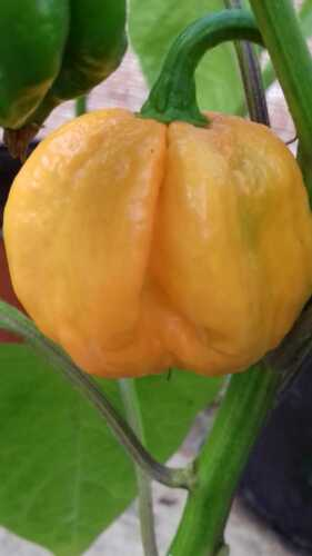 Super hot pepper Habanero BAHAMIAN GOAT PEPPER 30 Pepper seeds