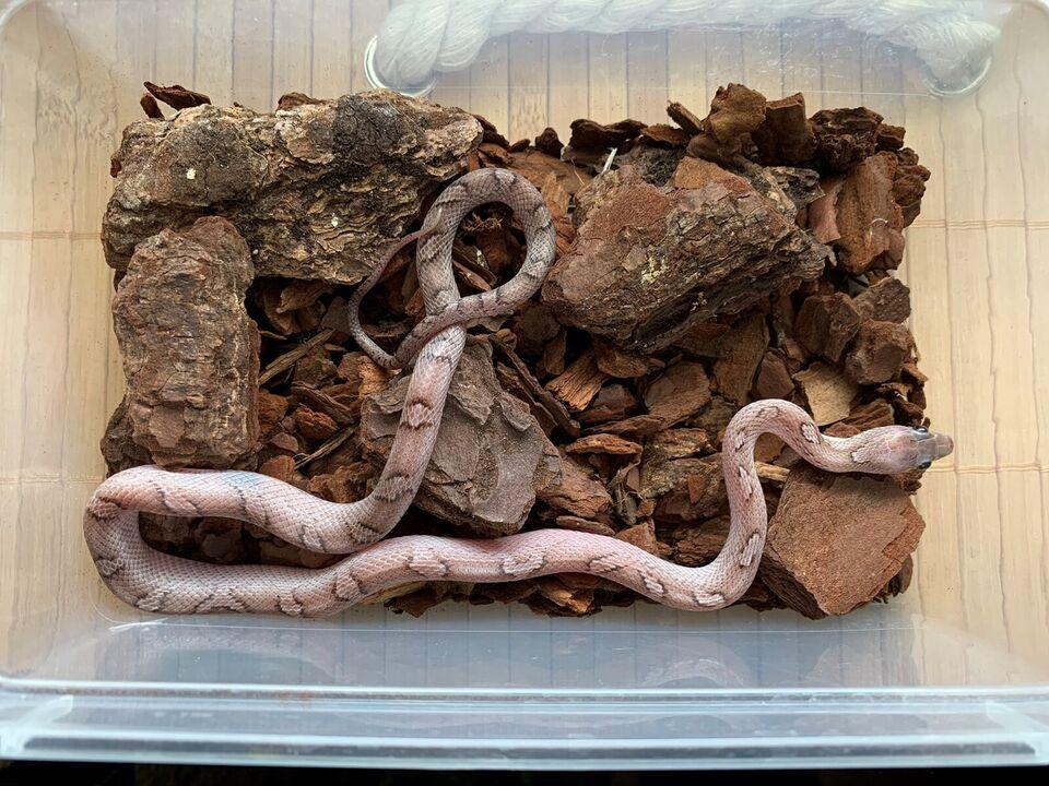 Slange, Pantherophis guttatus