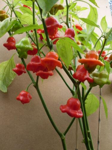 Chilli Chili Paprika Samen 9 Sorten a`5 Samen einzel verpackt  neueste Ernte