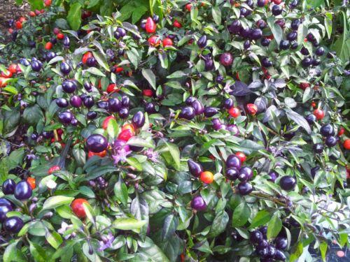 Chili-Paket 3 Sorten bunte Chilis einzeln verpackt dekorative Zimmerpflanzen