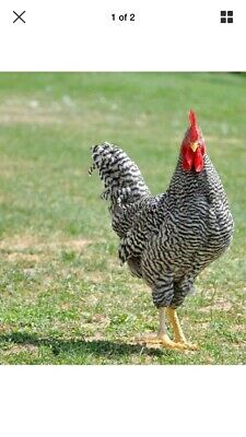 3 Barred Rock Hatching Chicken Eggs Free Range Pasture Raised Organic Diet