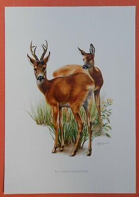 Gelernt Reh (capreolus Capreolus) Farbdruck 1958 Gut Verkaufen Auf Der Ganzen Welt