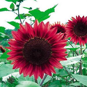 15pcs Duftende Rote Sonnen Blumen Samen Winterharte Bluhende Staude