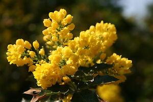 5-Mahonie-Mahonia-aquifolium-30-40-cm-wurzelnackt
