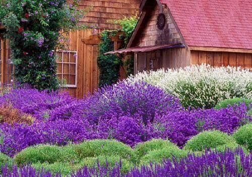 Weiß Am Meisten Duftend 30 Rot /& Violett Lavendel Mix Blumensamen//Mehrjährig
