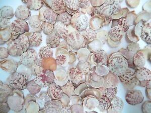 15-OZ-ATLANTIC-CALICO-SCALLOP-SHELLS-5-034-1-5-034-WIDE-300-400-SEASHELLS-CRAFT-PINK