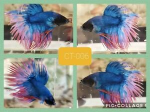 Crowntail betta blue - Live Male Betta Fish CT006 - high quality