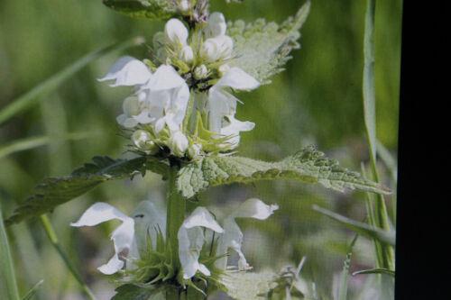 Lamium Album #792 5 Seeds White Taubnessel
