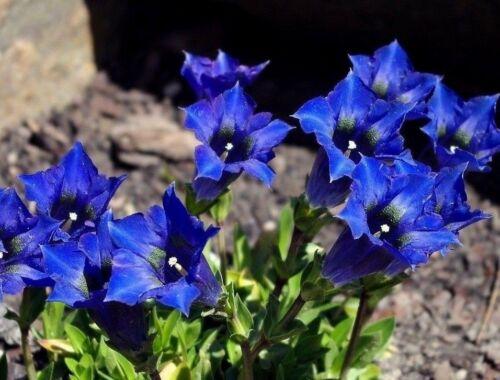 20 graines dinarischer Enzian-Gentiana dinarica-Hiver-Rocaille-Seed