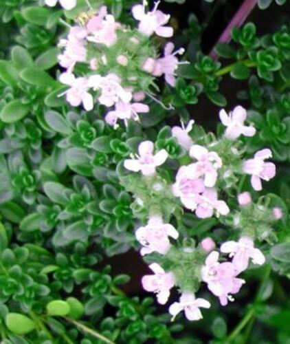 3 Thyme Pink Chintz