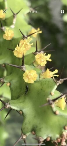RARE Yellow Bloom color cactus plant