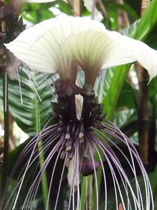 10 Seeds White Bat Flower Tacca Integrifolia White Batflower